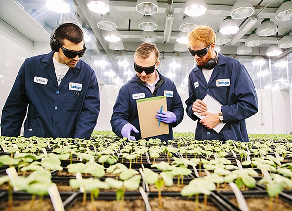 Technicians monitor Indigo Ag seedlings.