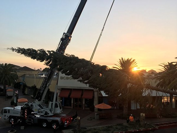 115-foot tree arrives at Citadel Outlets. Pictures courtesy of Citadel Outlets.