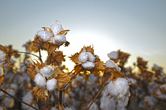 ADNAS Receives Notice of Allowance on Cotton-Tagging Technology Patent